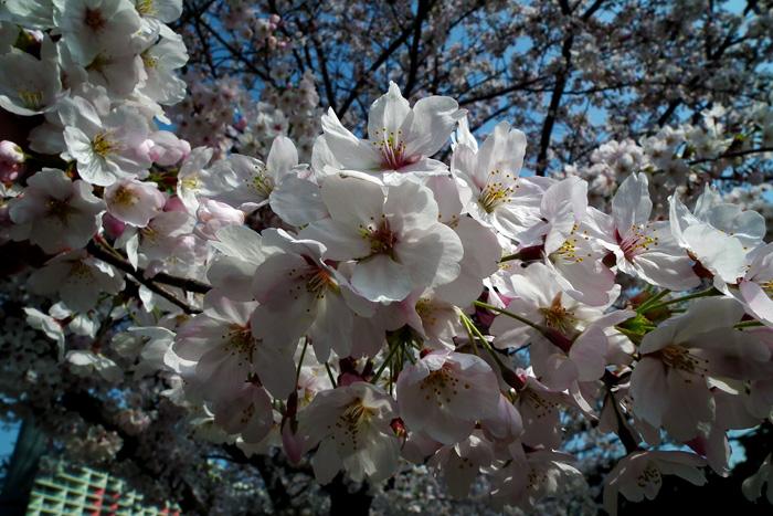 Sakura201104