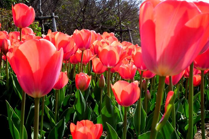 Tulip2011