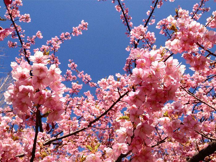 Sakura0325_1