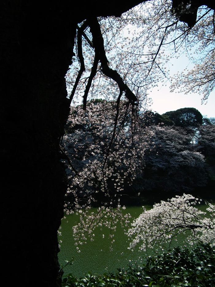 Sakura_120407_6