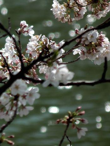 Sakura_120407_7