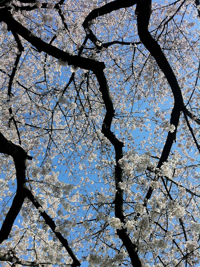 Sakura_120407_5