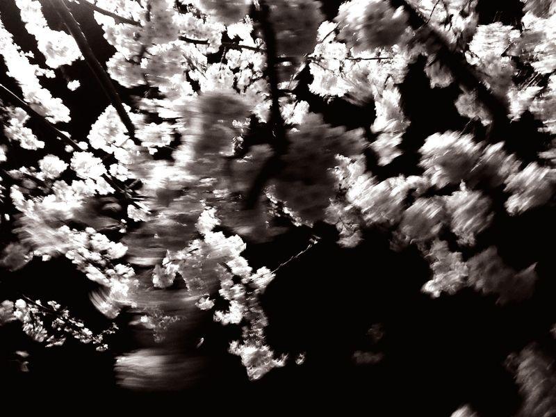 Sakura2012_2