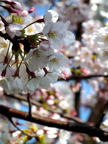 Sakura0409_2