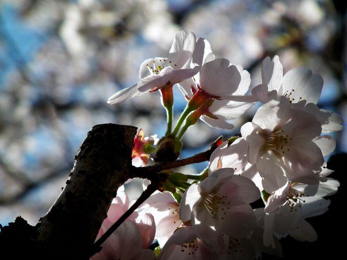 Sakura_120407_1