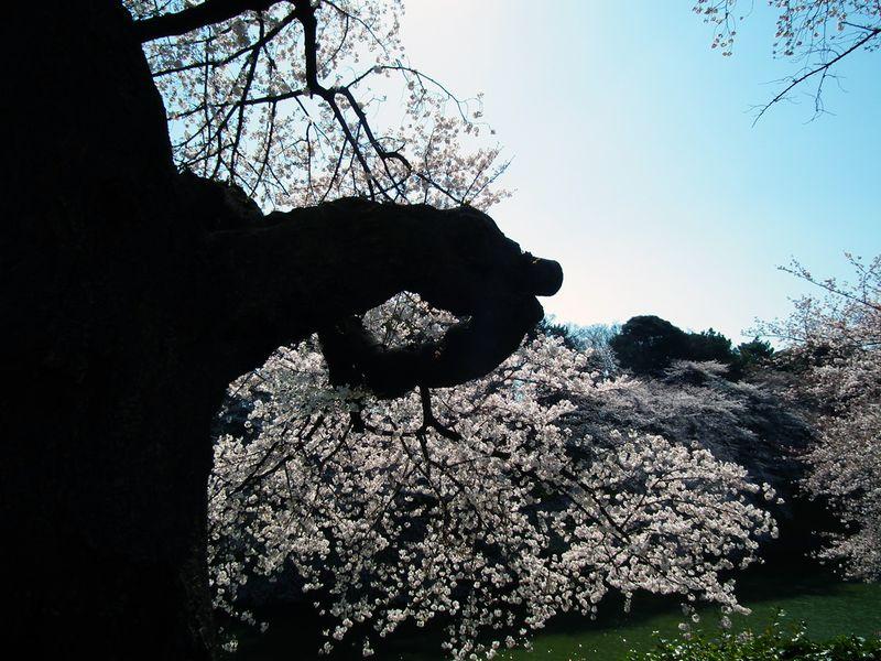Sakura_120407_2