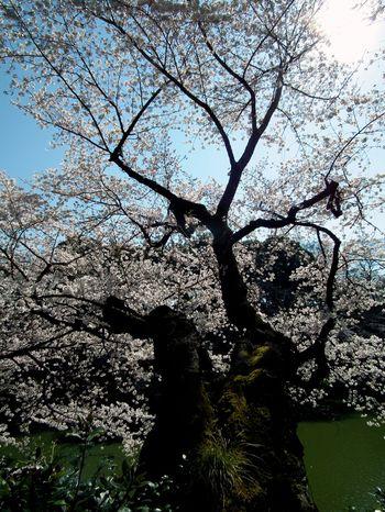 Sakura_120407_4