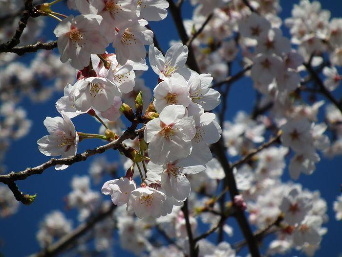 Sakura_120408