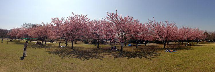 Sakura2013_03
