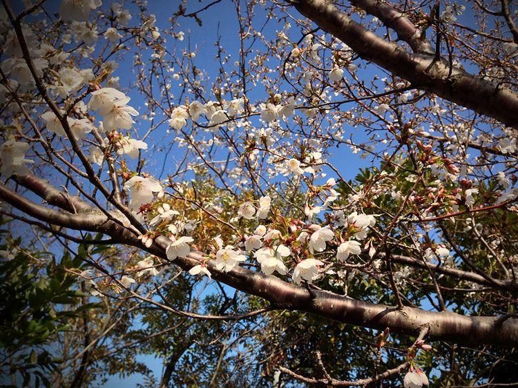 Sakura20130319