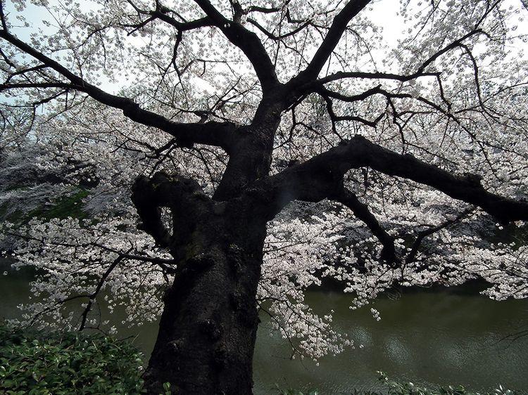Chidorigafuchi2013_1