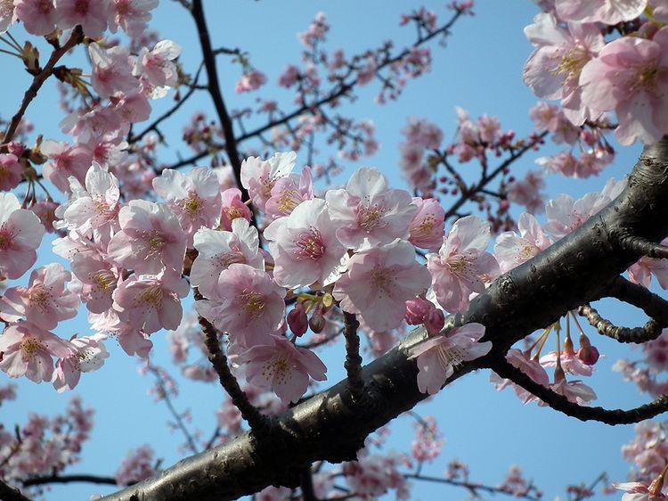 Sakura2014_01