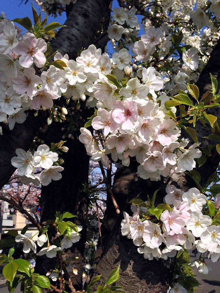 Sakura20140401_4