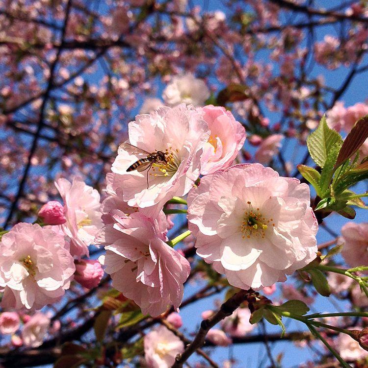 Sakura20140402_1