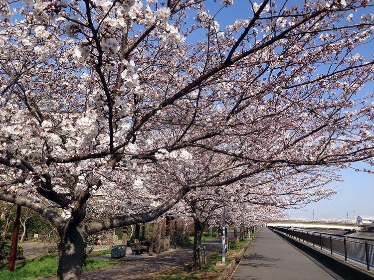 Sakura20140401_1