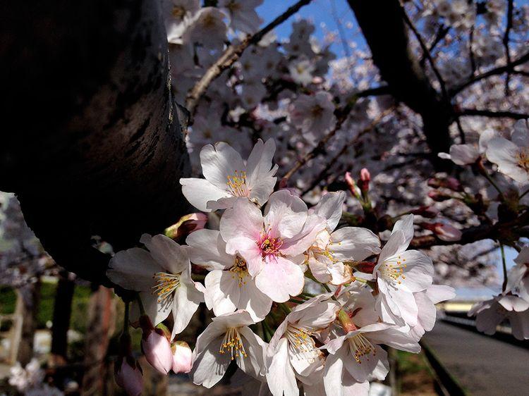 Sakura20140401_2