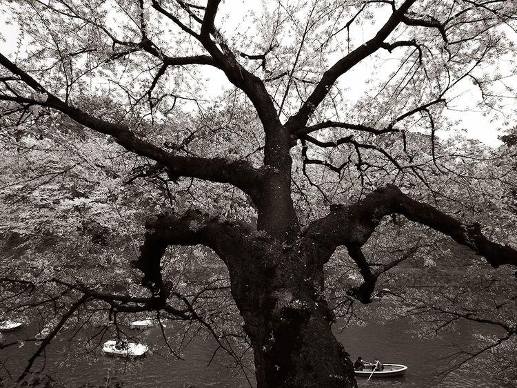 Sakura20140405_2
