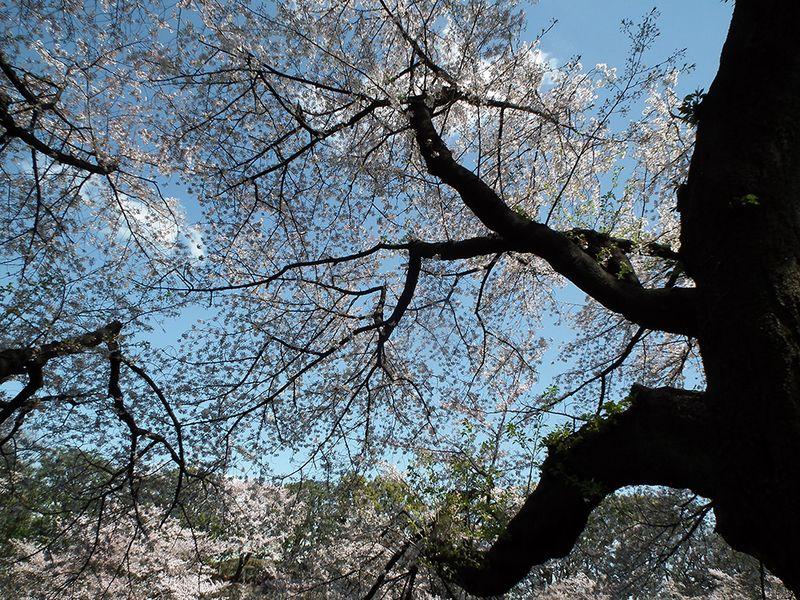 Sakura20140405_4