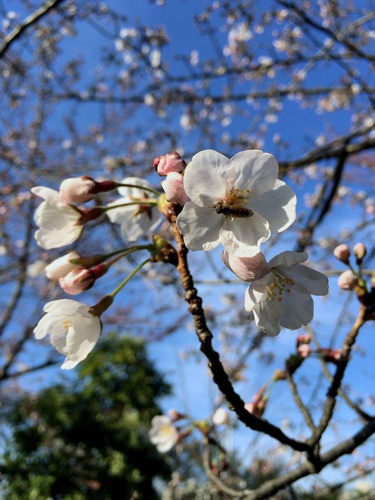 Sakura20150328