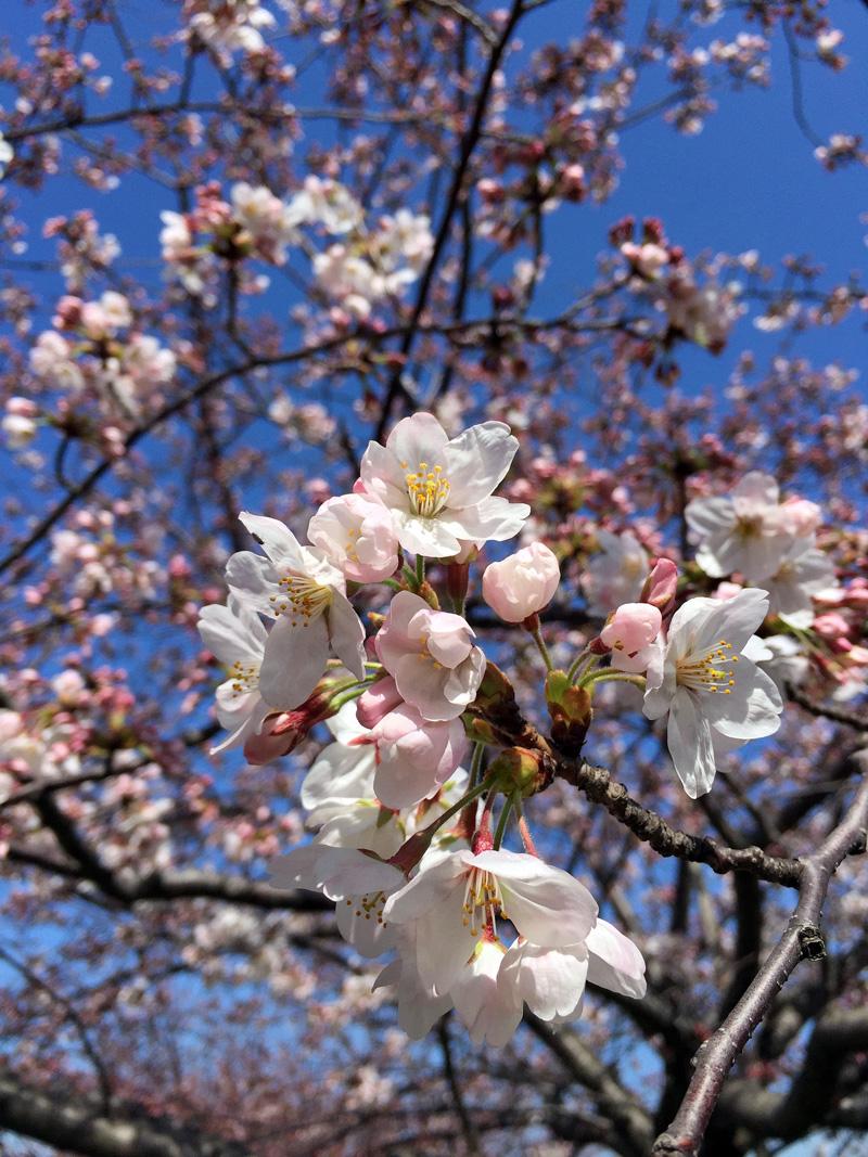 Sakura20150329_1