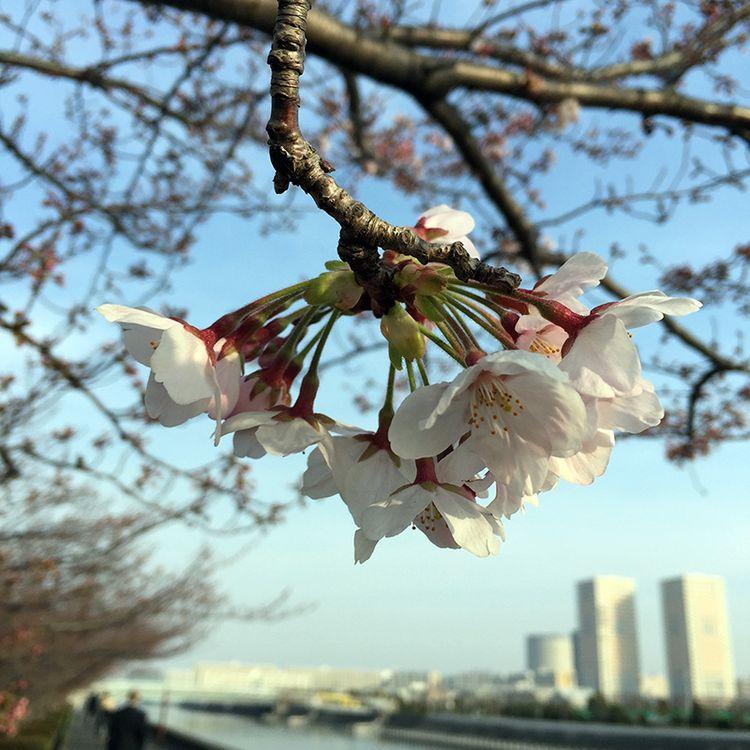 Sakura201603_sakaigawa02