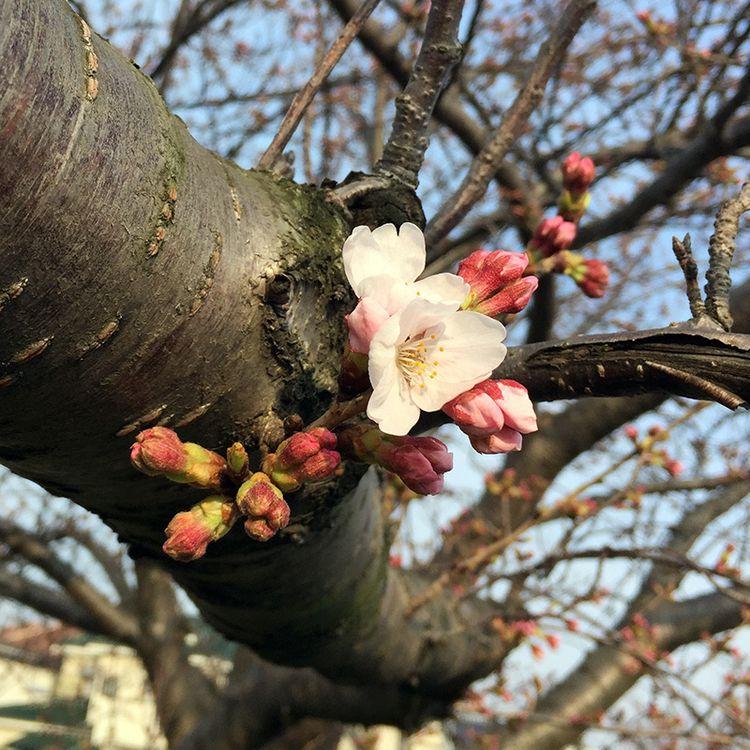 Sakura201603_sakaigawa01