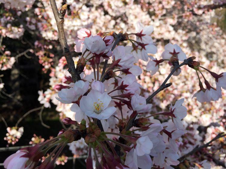 Sakura20160331_6