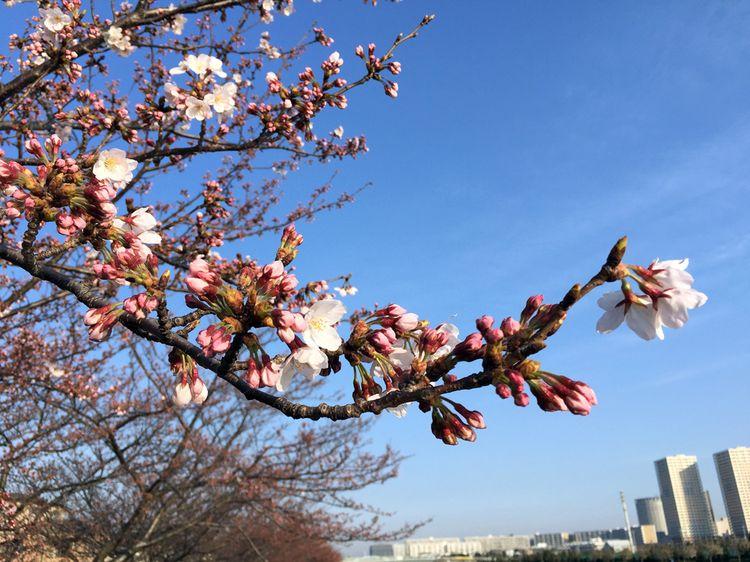 Sakura20160331_1