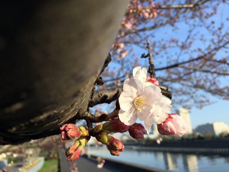 Sakura20160331_2