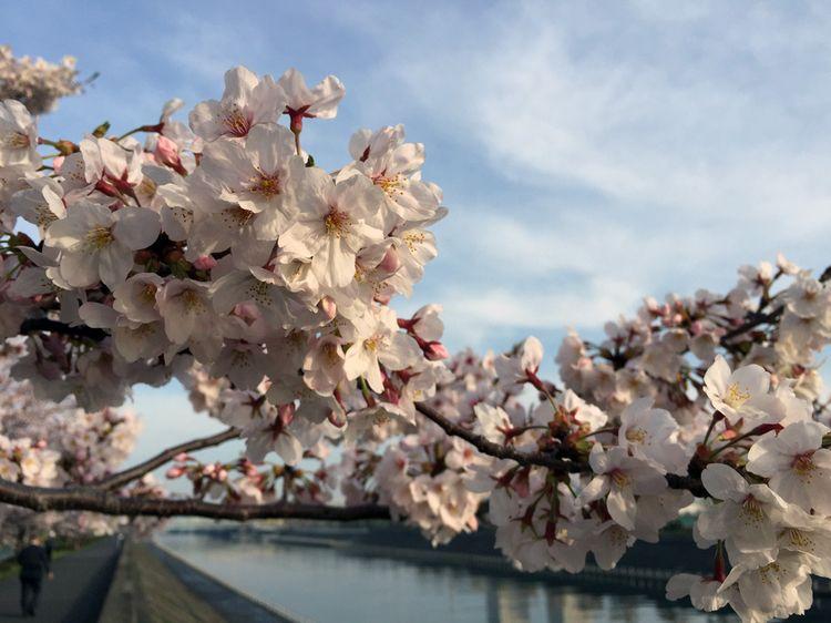 Sakura201604_sakaigawa01