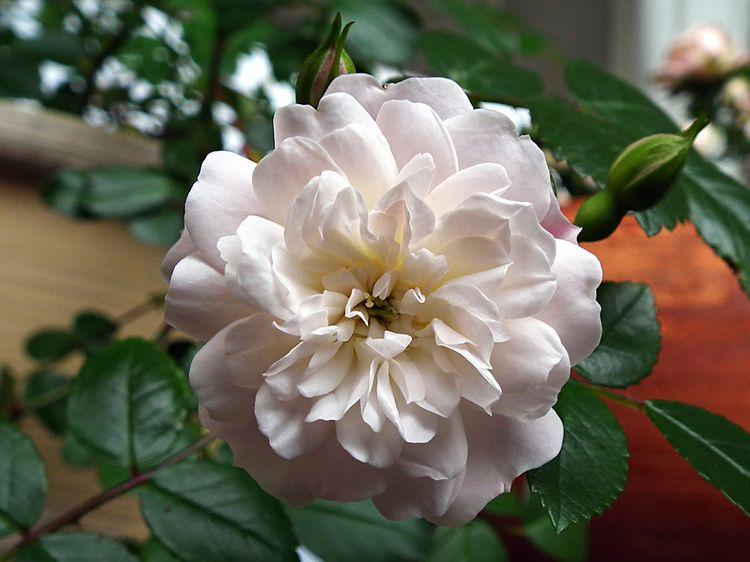 Flower201605_3