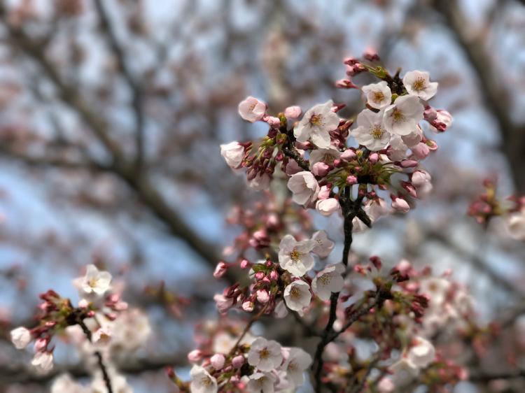 Sakura20170402_2