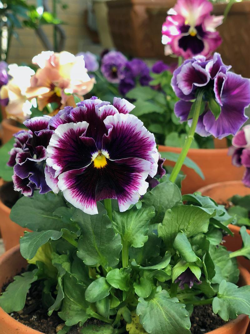 Violettes02