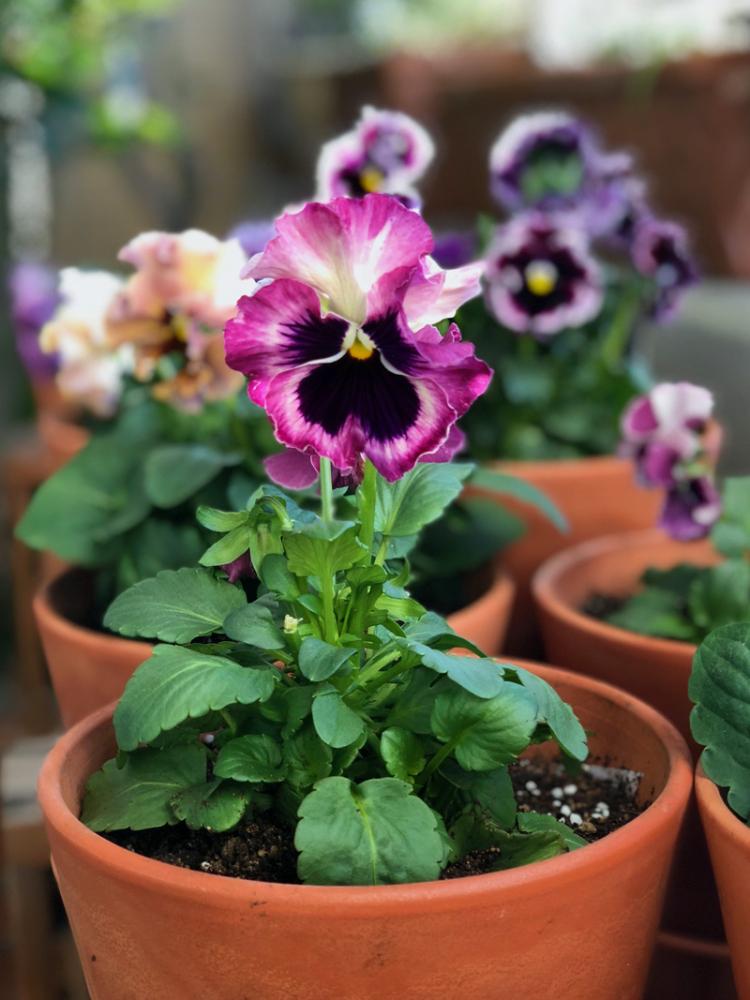 Violettes01