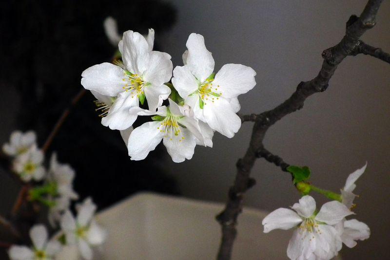 Sakura20150319_2