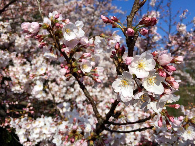 Sakura20160331_4