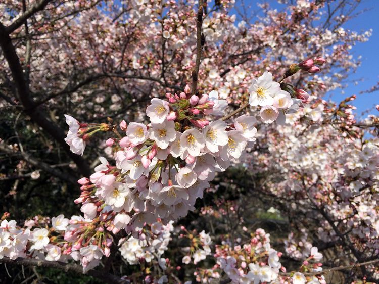 Sakura20160331_5