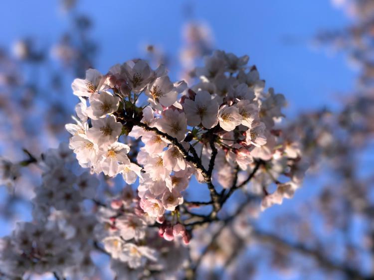 Sakura20170402_1