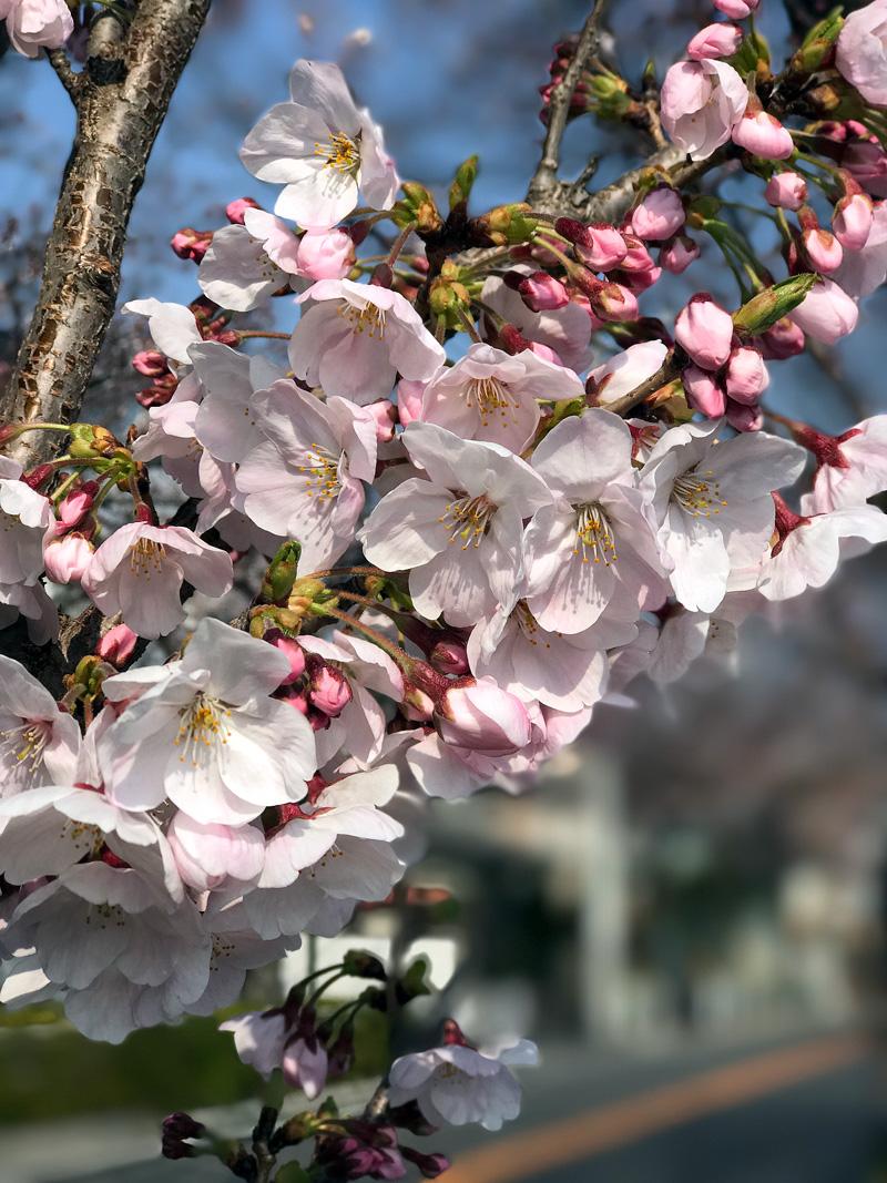 Sakura20170405_2