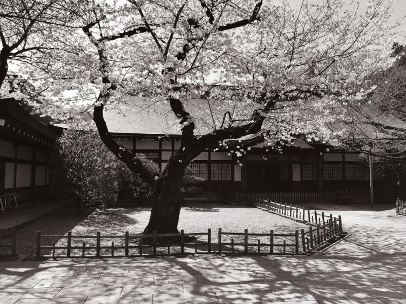 Sakura2018_5