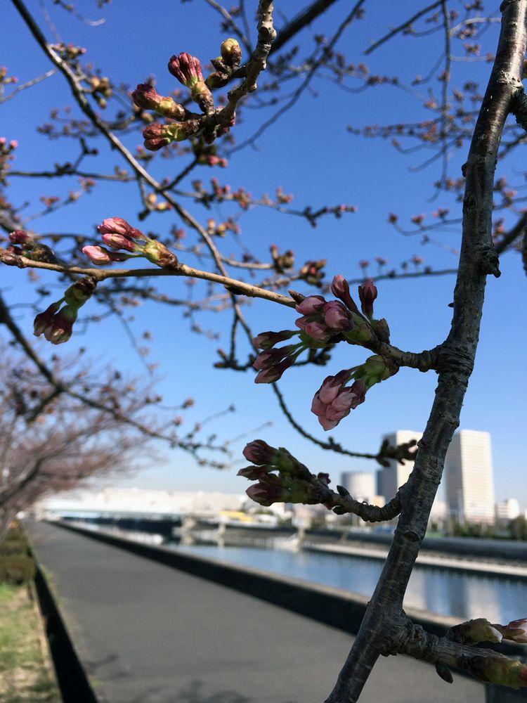Sakura20150327_1