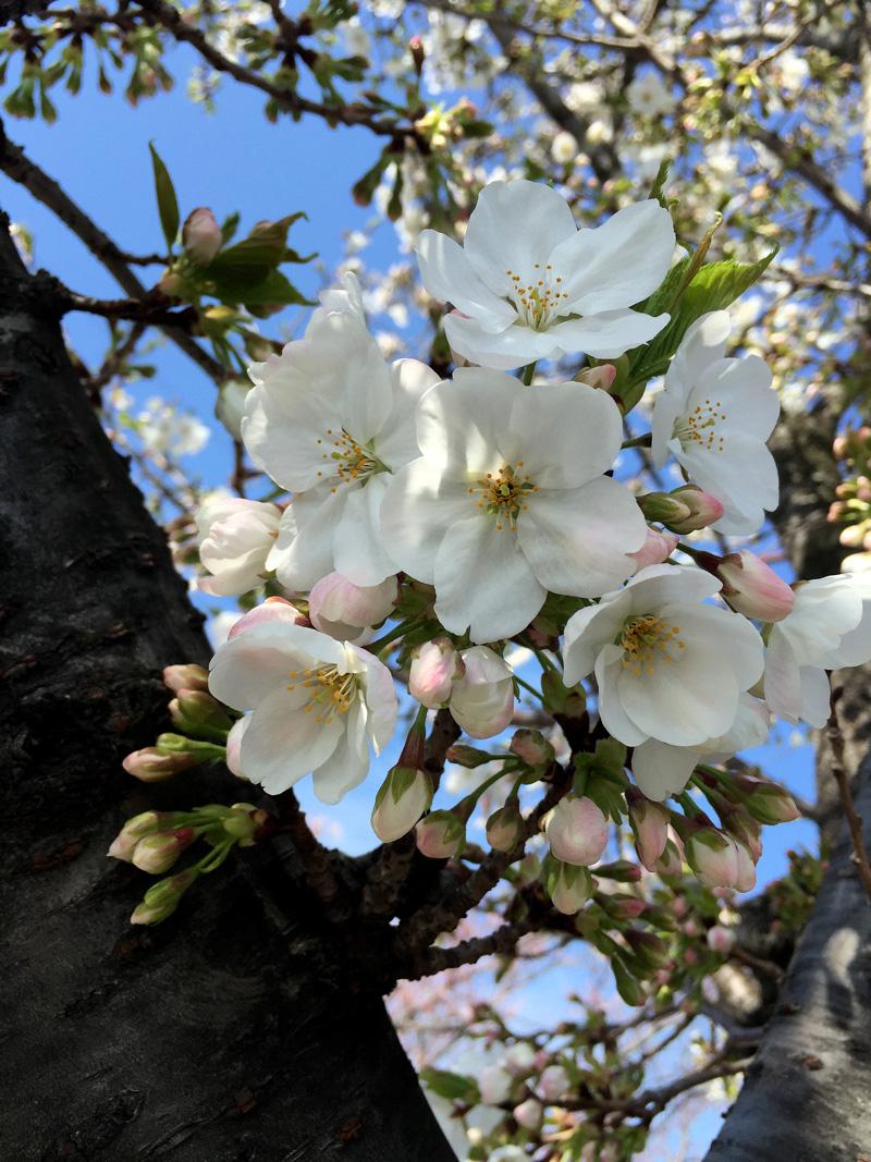 Sakura20150329_2