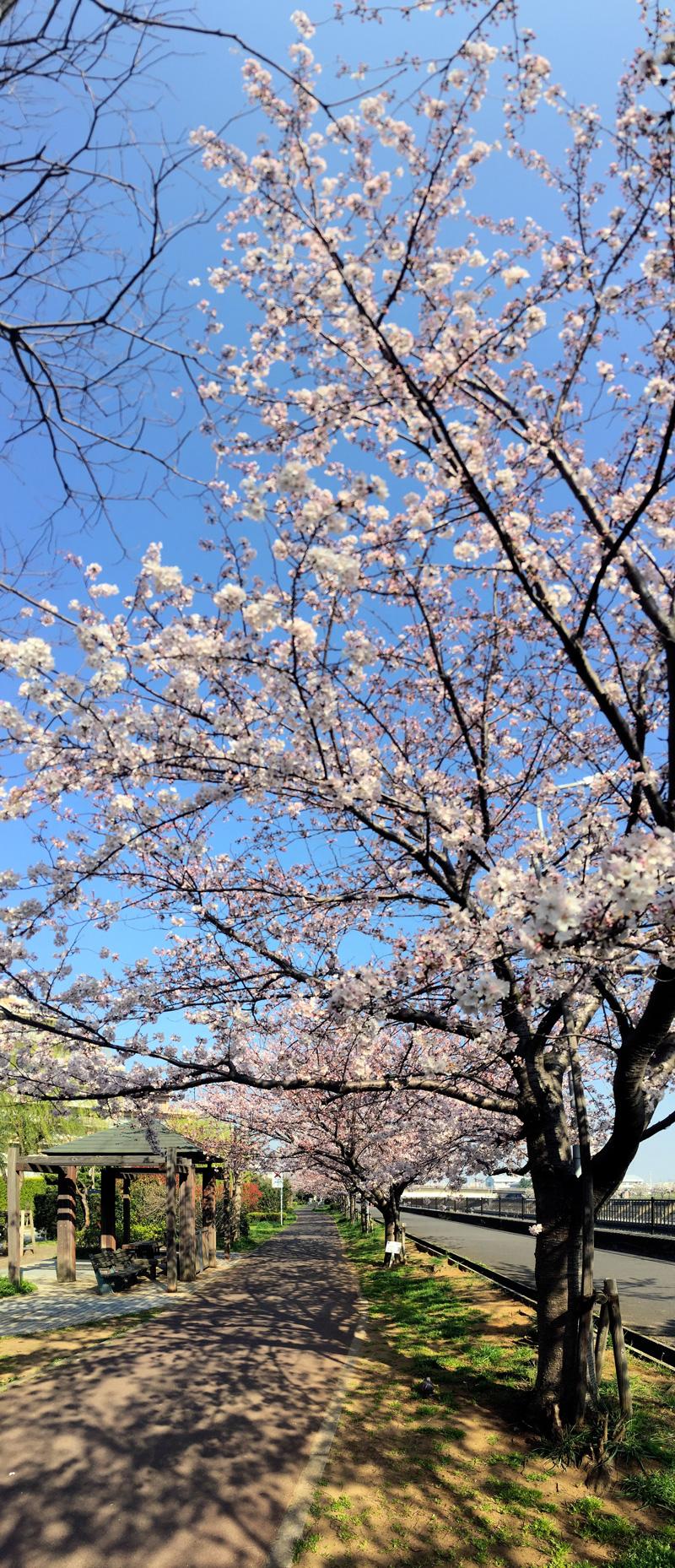 Sakura20150331_1