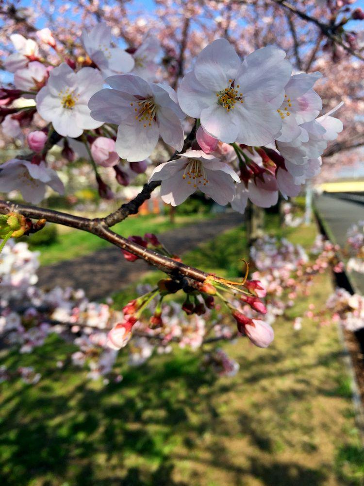 Sakura20150331_3