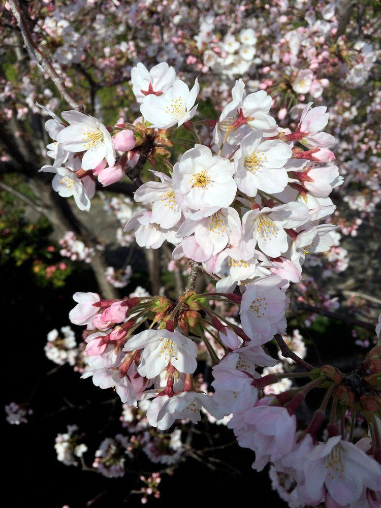 Sakura20150331_2