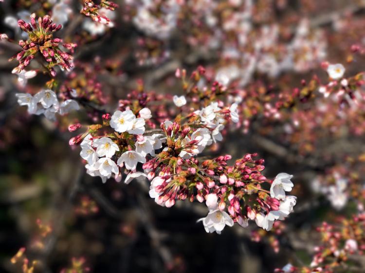 Sakura20170330
