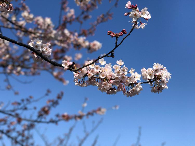 Sakura20170404_2