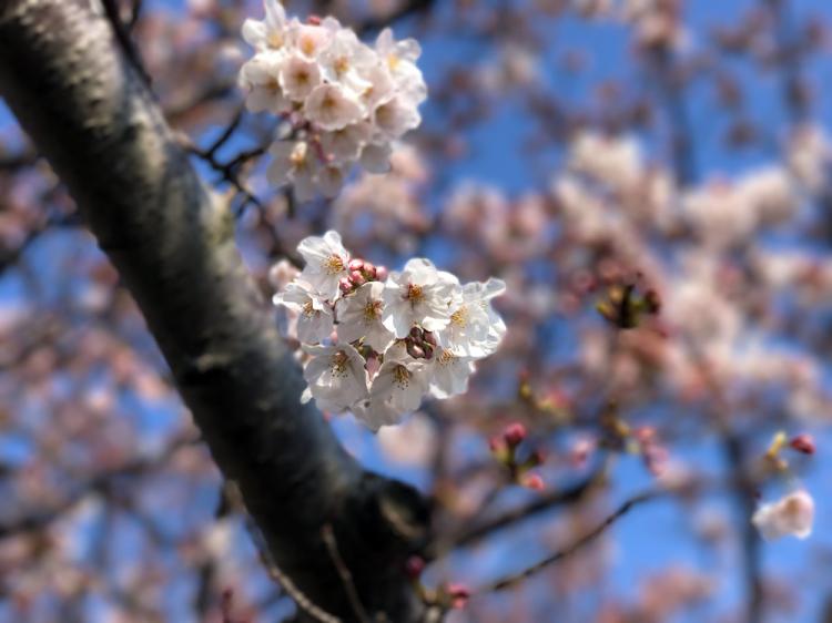 Sakura20170404_3