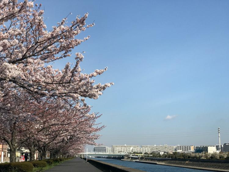 Sakura20170406_1