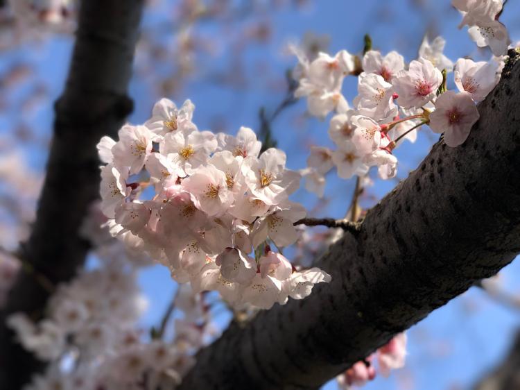 Sakura20170406_2